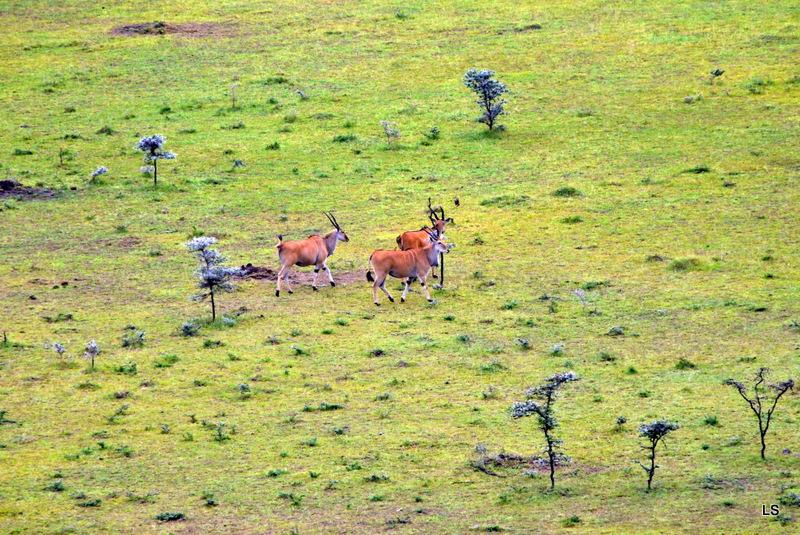 Eland du Cap/Cape Eland (1)