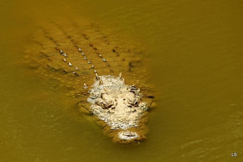 Crocodile (1)