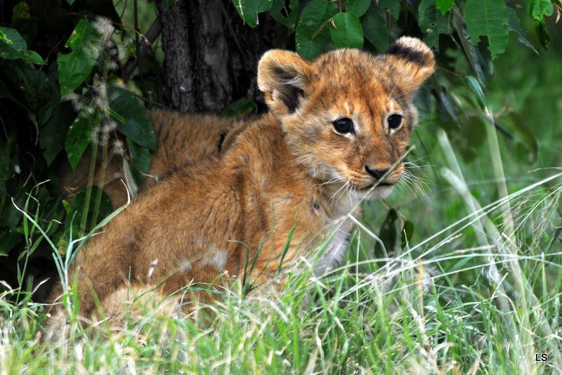 Lion (12)