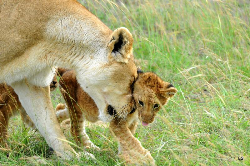 Lion (13)