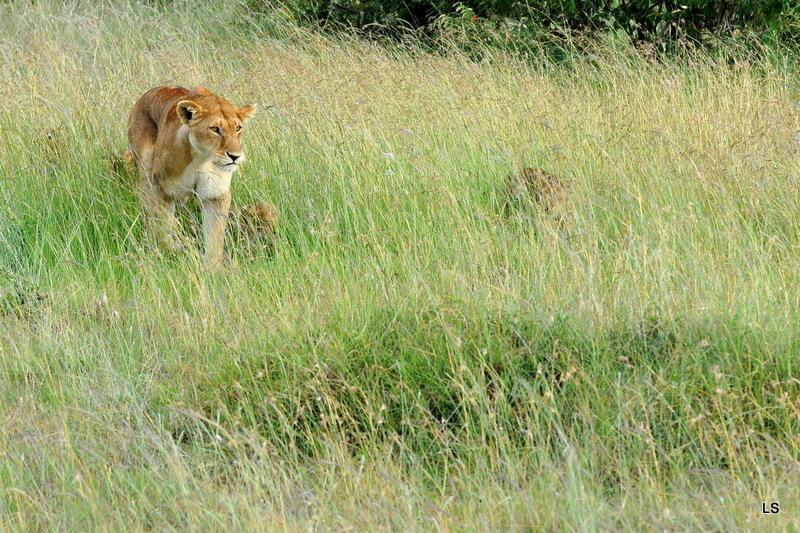 Lion (16)
