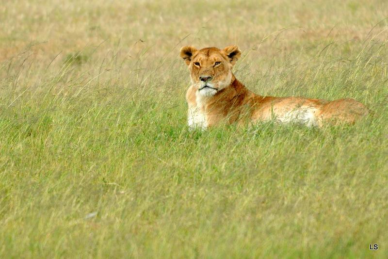 Lion (26)