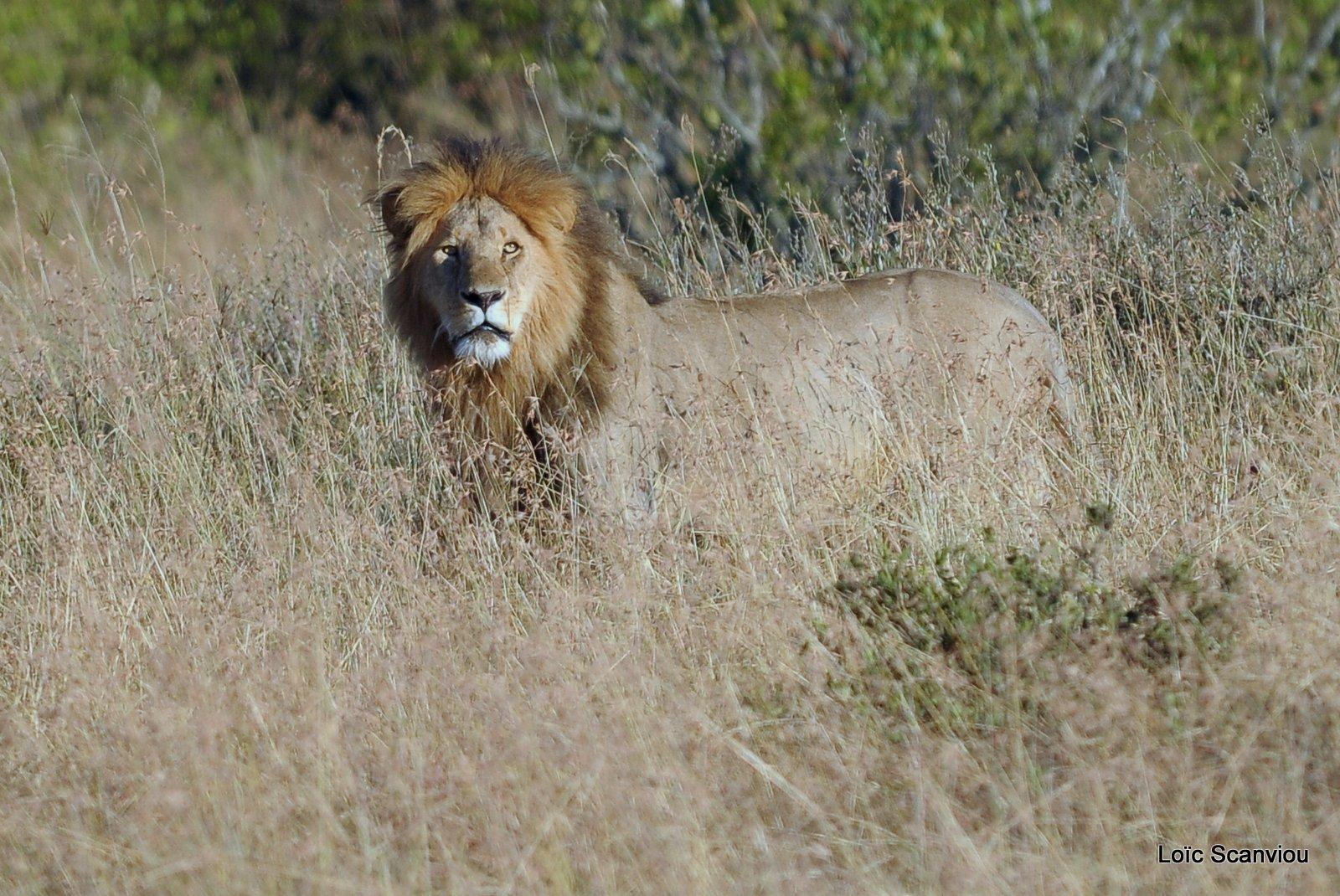 Lion (4)