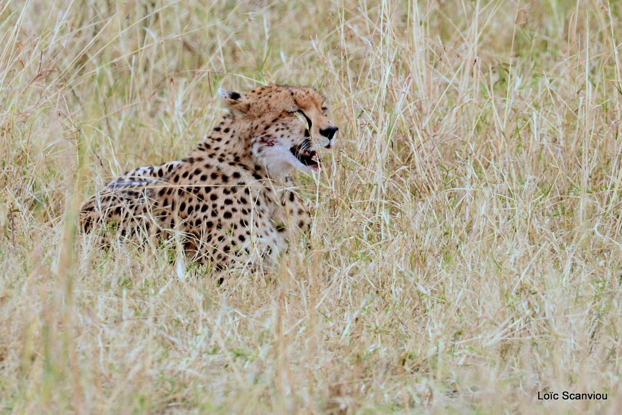 Guépard/Cheetah (1)