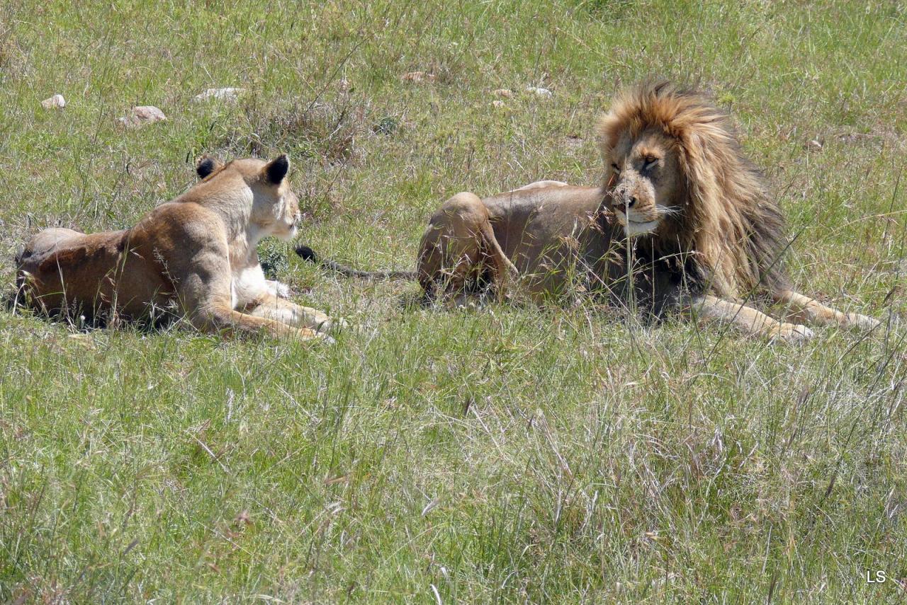 Lion (3)
