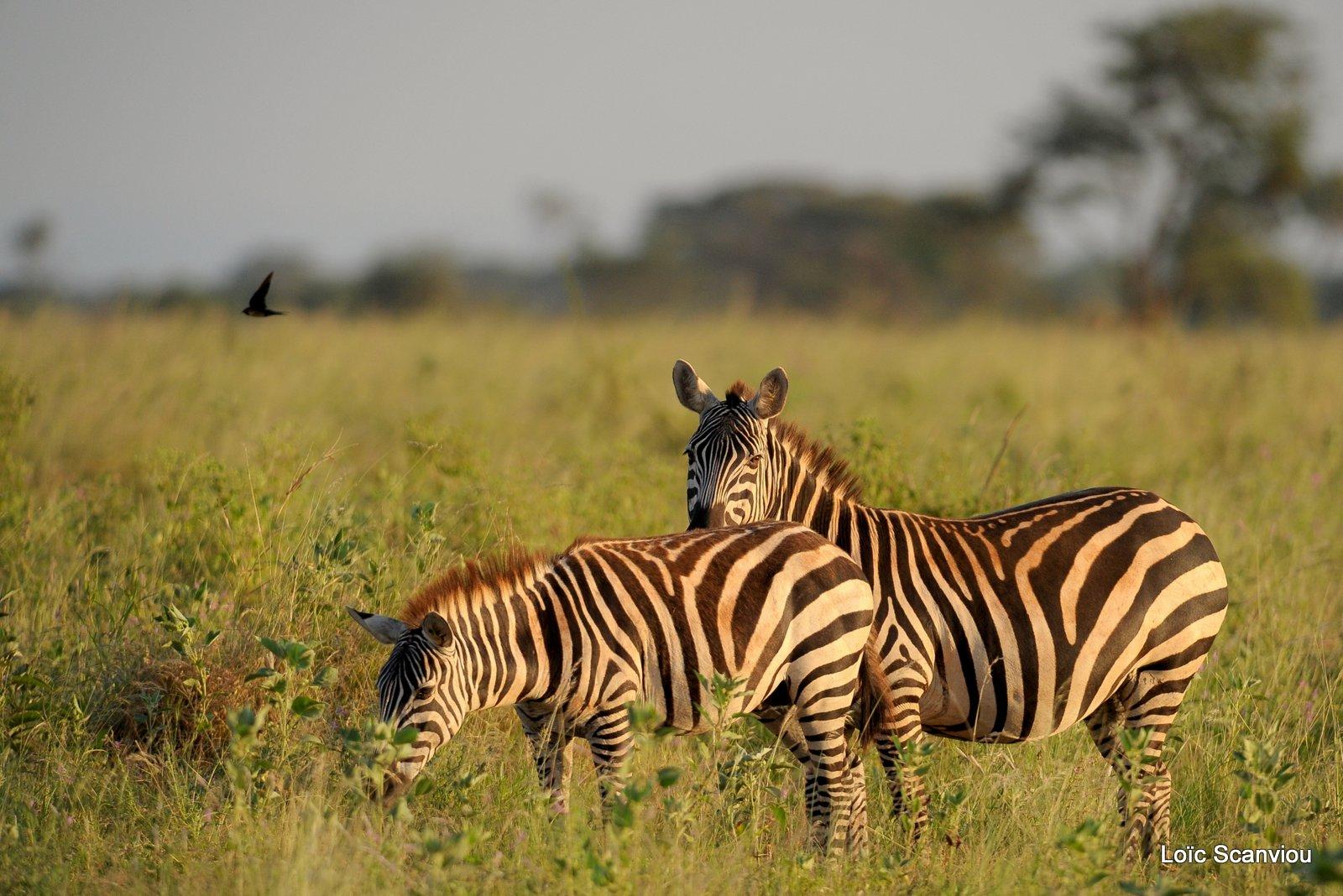 Zèbre/Zebra (15)