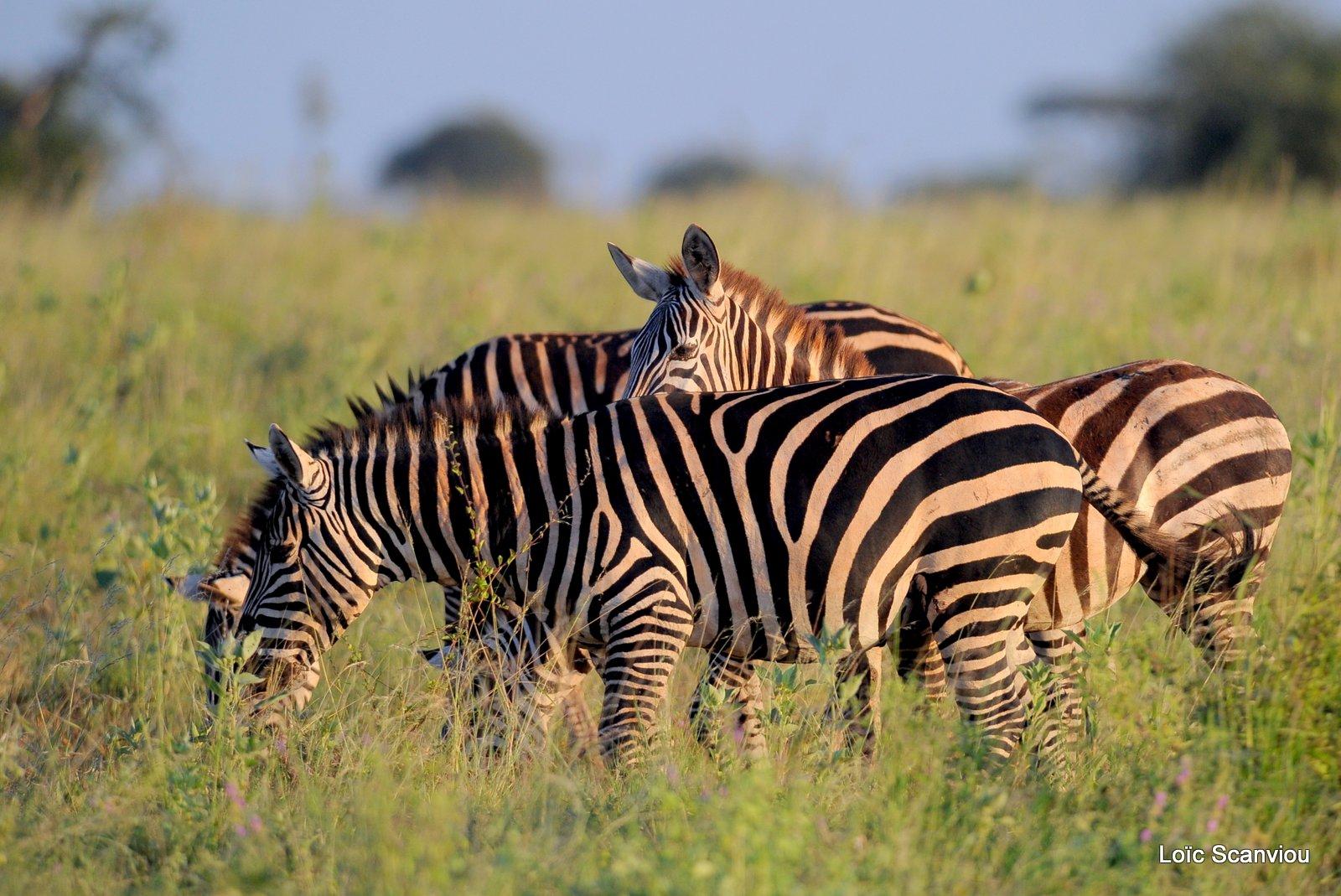 Zèbre/Zebra (16)