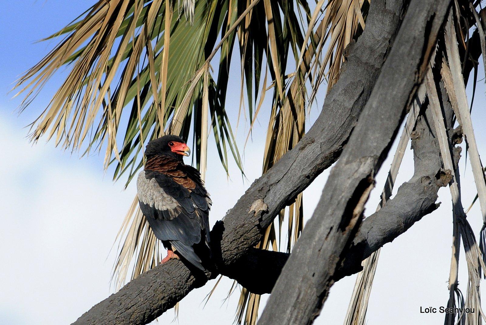 Aigle bateleur/Bateleur Eagle (1)