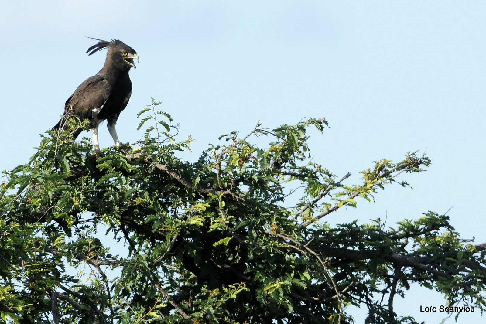 Aigle huppard/Long-crested Eagle (1)