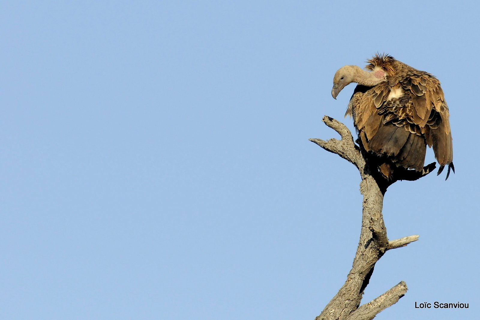 Vautour africain/African White-backed Vulture (1)