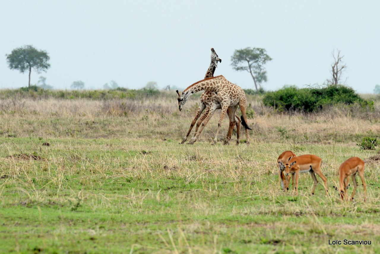 Girafe/Giraffe (13)