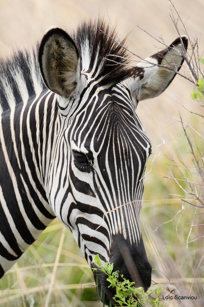Zèbre/Zebra (6)