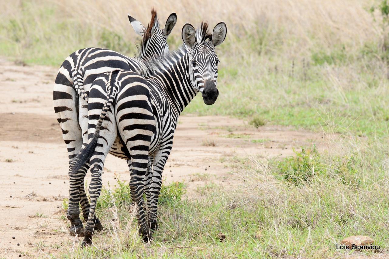 Zèbre/Zebra (7)