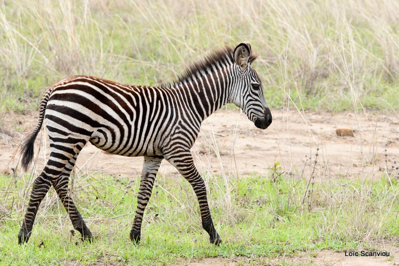 Zèbre/Zebra (8)