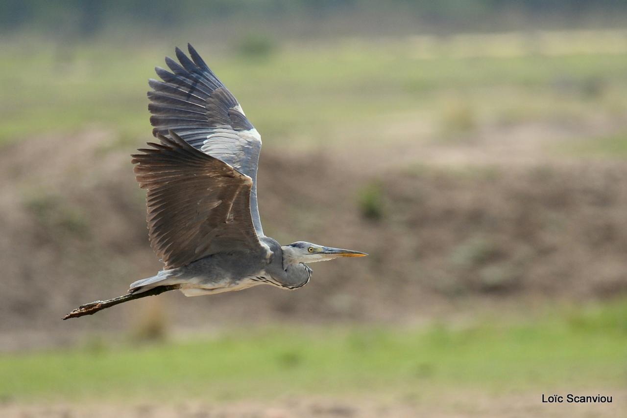 Héron cendré/Grey Heron