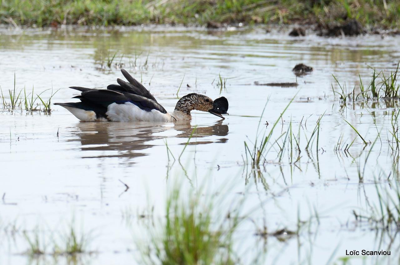 Canard à bosse/Comb Duck (2)