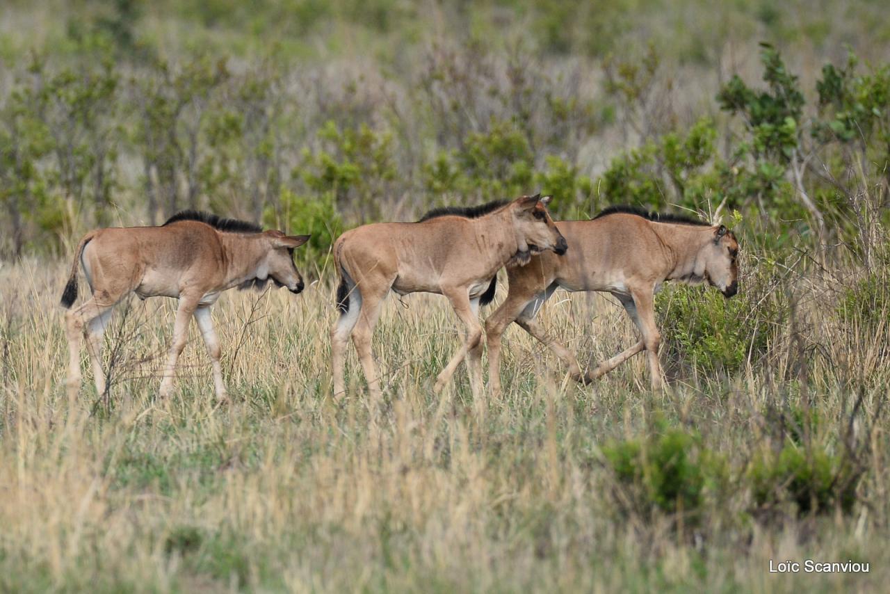 Gnou/Wildebeest (5)