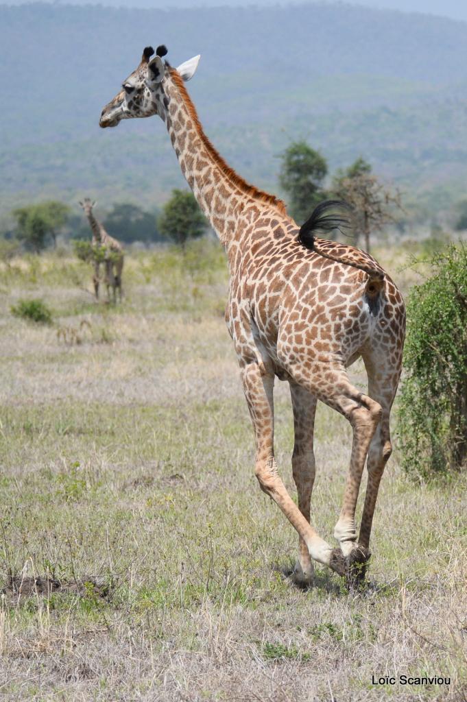 Girafe/Giraffe (15)