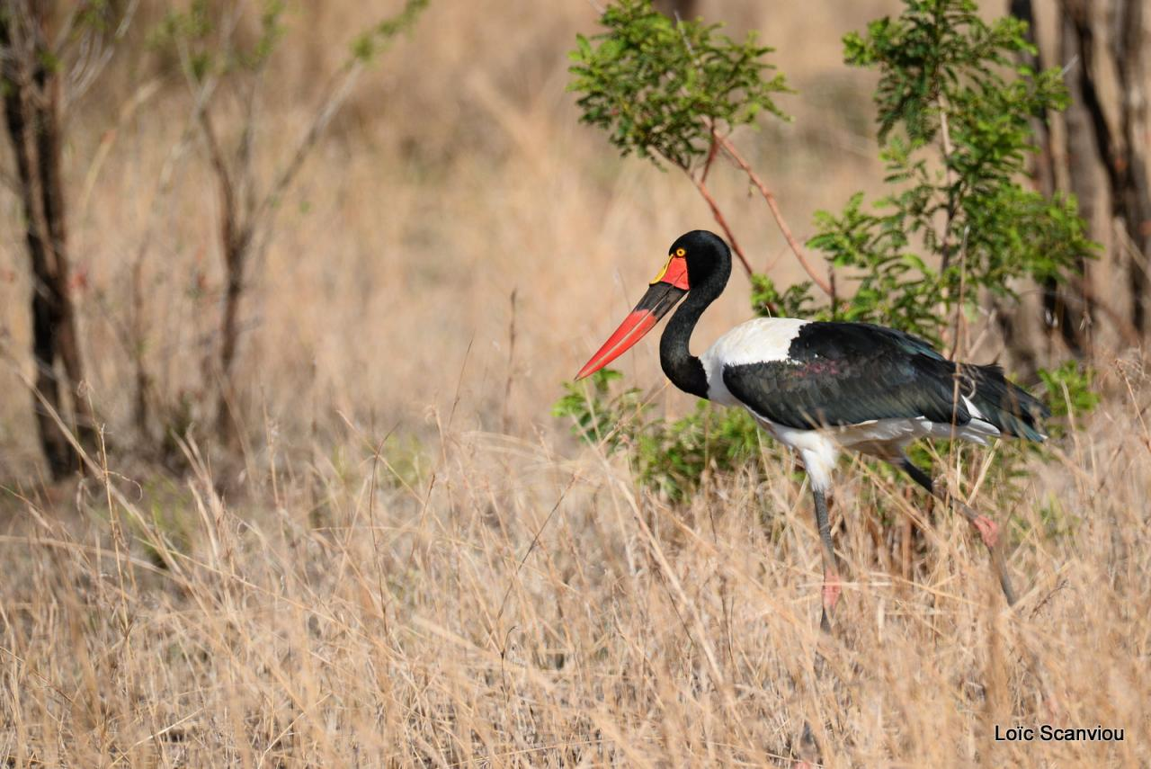 Jabiru d'Afrique/Saddle_billed Stork (1)