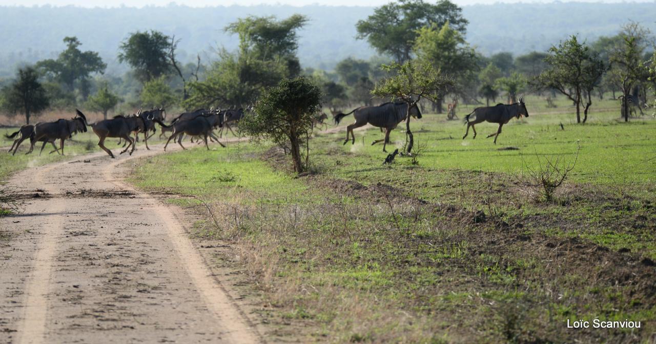 Gnou/Wildebeest (6)