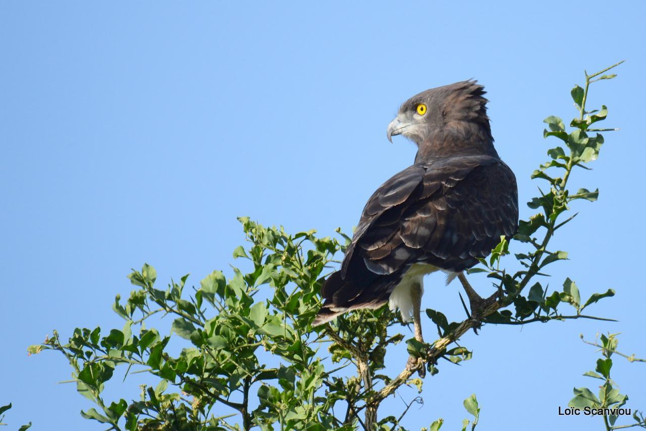 Circaète à poitrine noire/Black-chested Snake-Eagle (3)