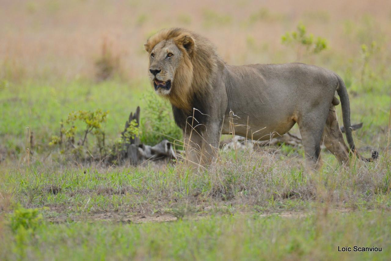 Lion (18)