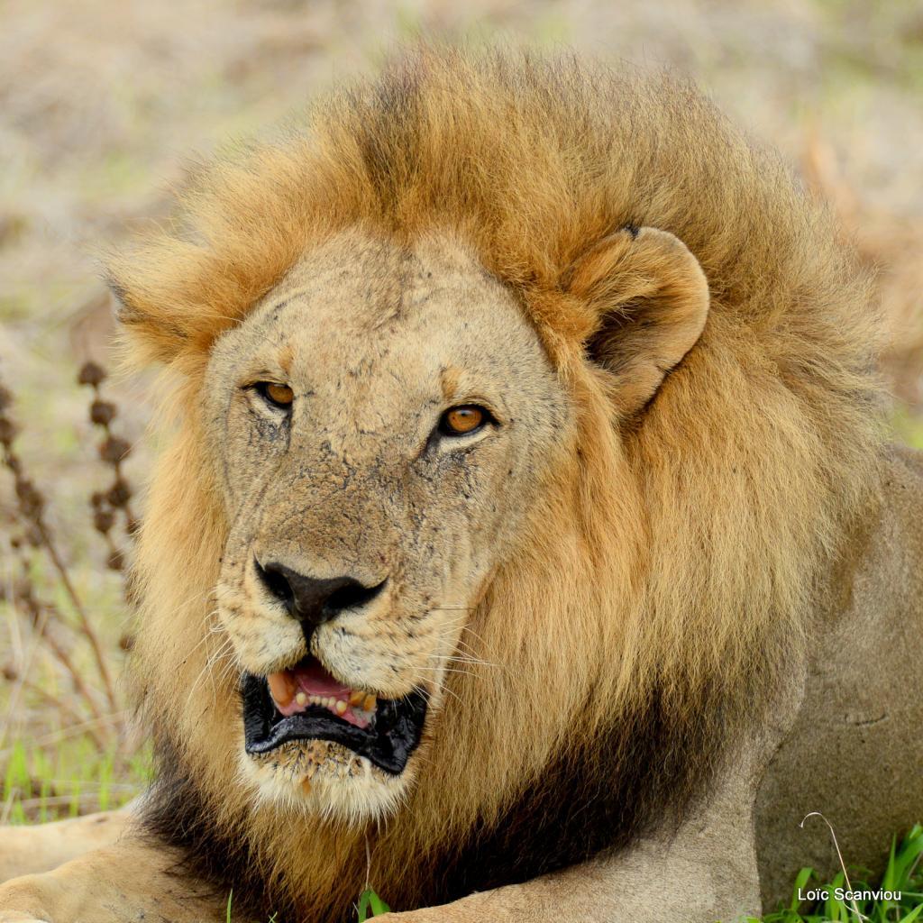 Lion (19)