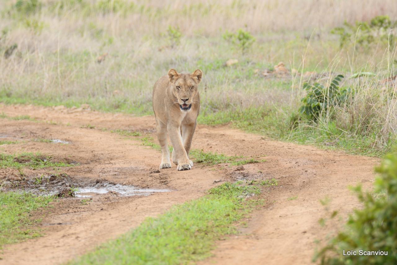 Lion (20)