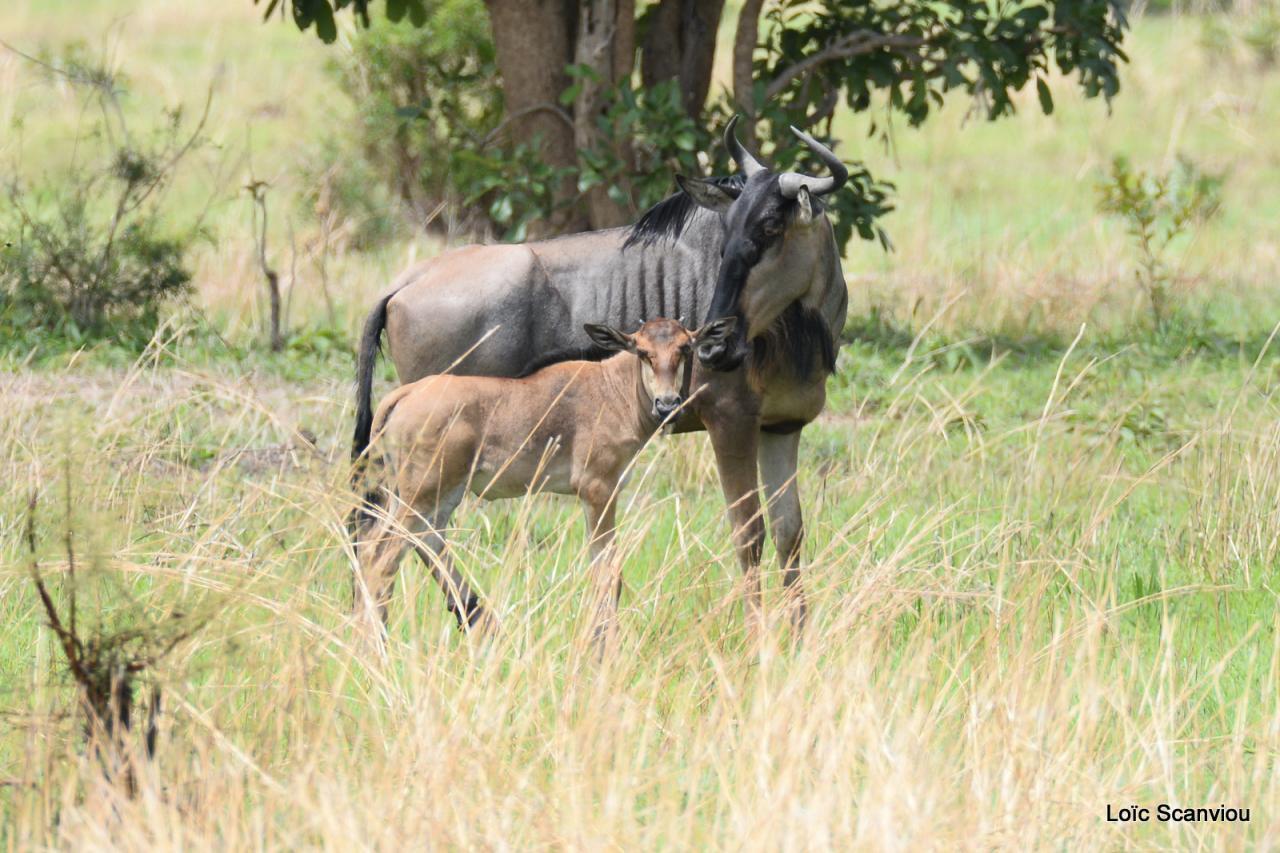 Gnou/Wildebeest (7)