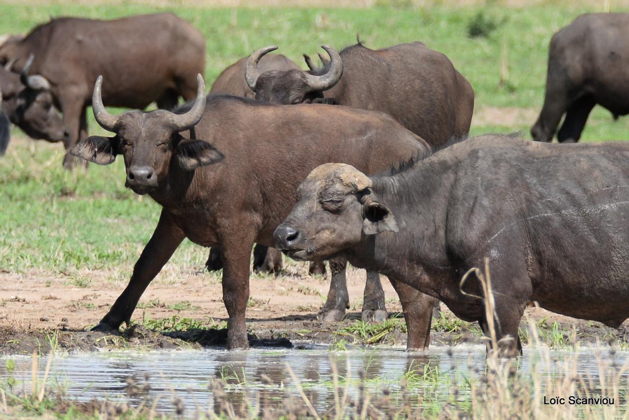 Buffle du Cap/Cape Buffalo (9)