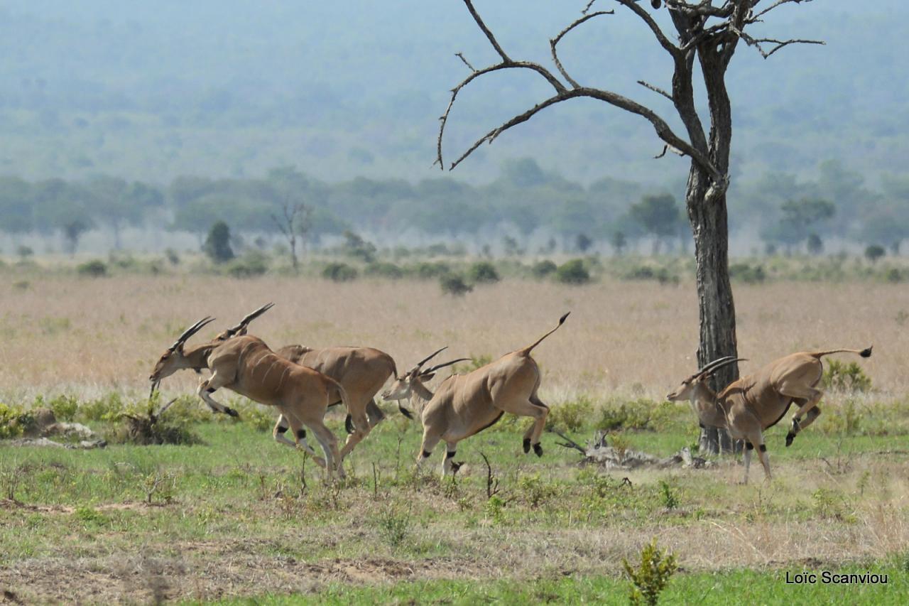 Eland du Cap/Cape Eland  (2)