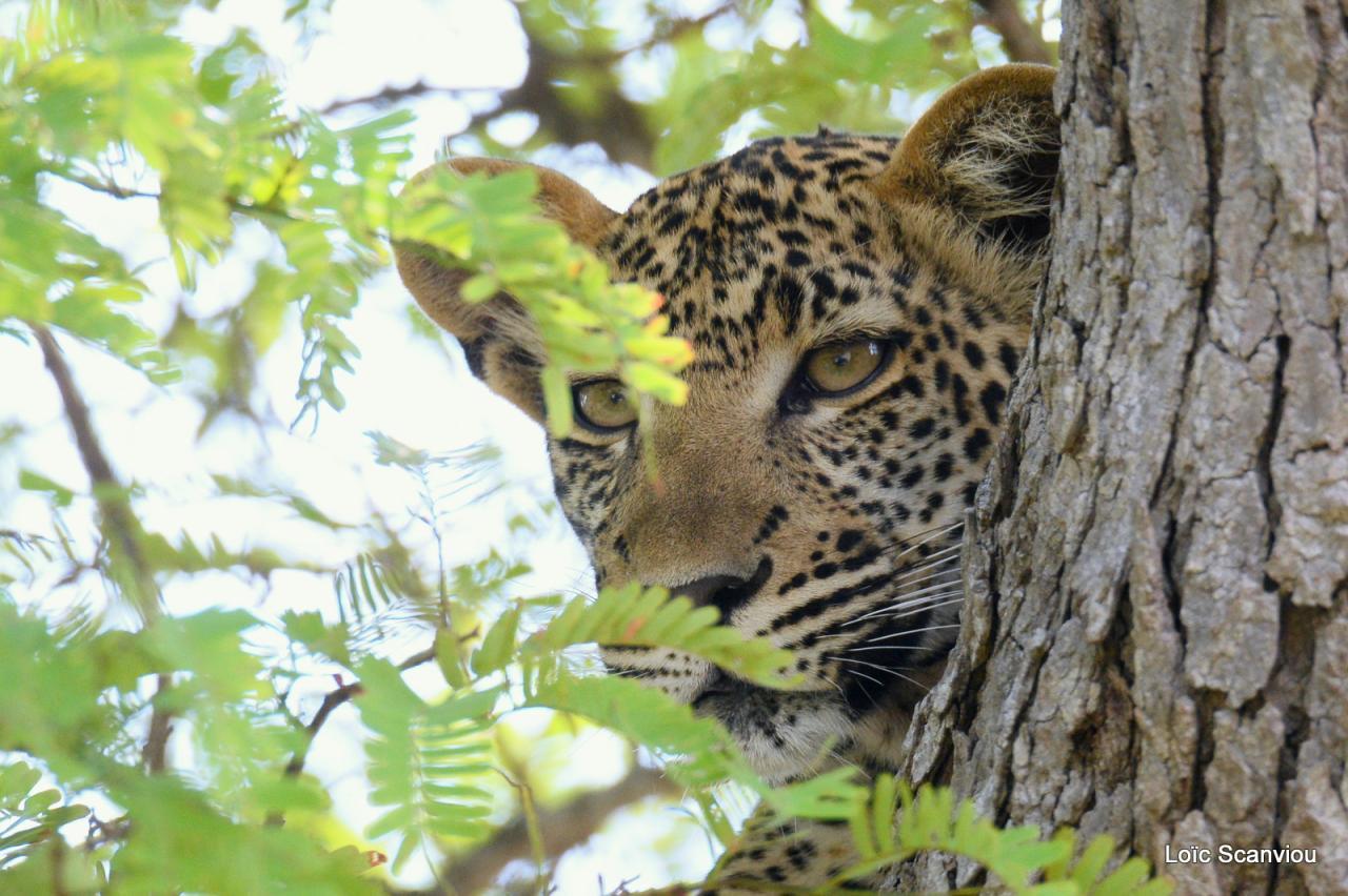 Léopard dans un arbre (19)