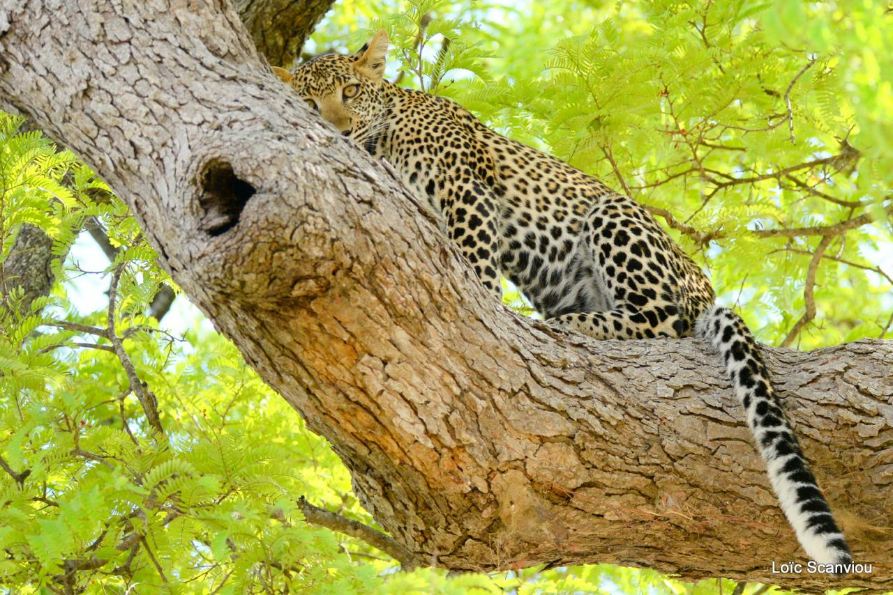 Léopard dans un arbre (22)
