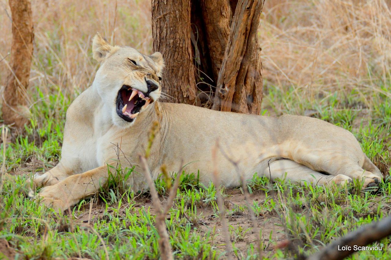 Lion (23)