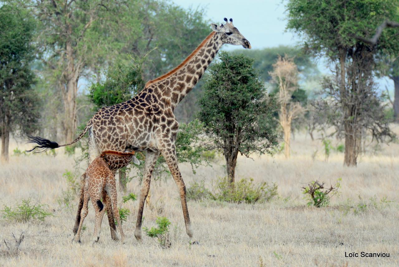 Girafe/Giraffe (20)