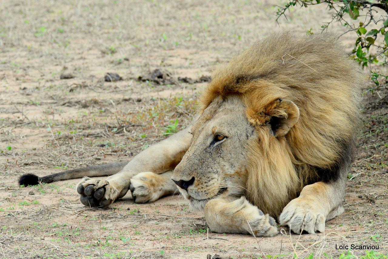 Lion (24)