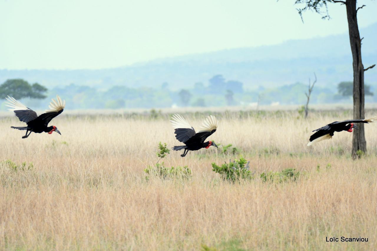 Bucorve/Ground Hornbill (2)