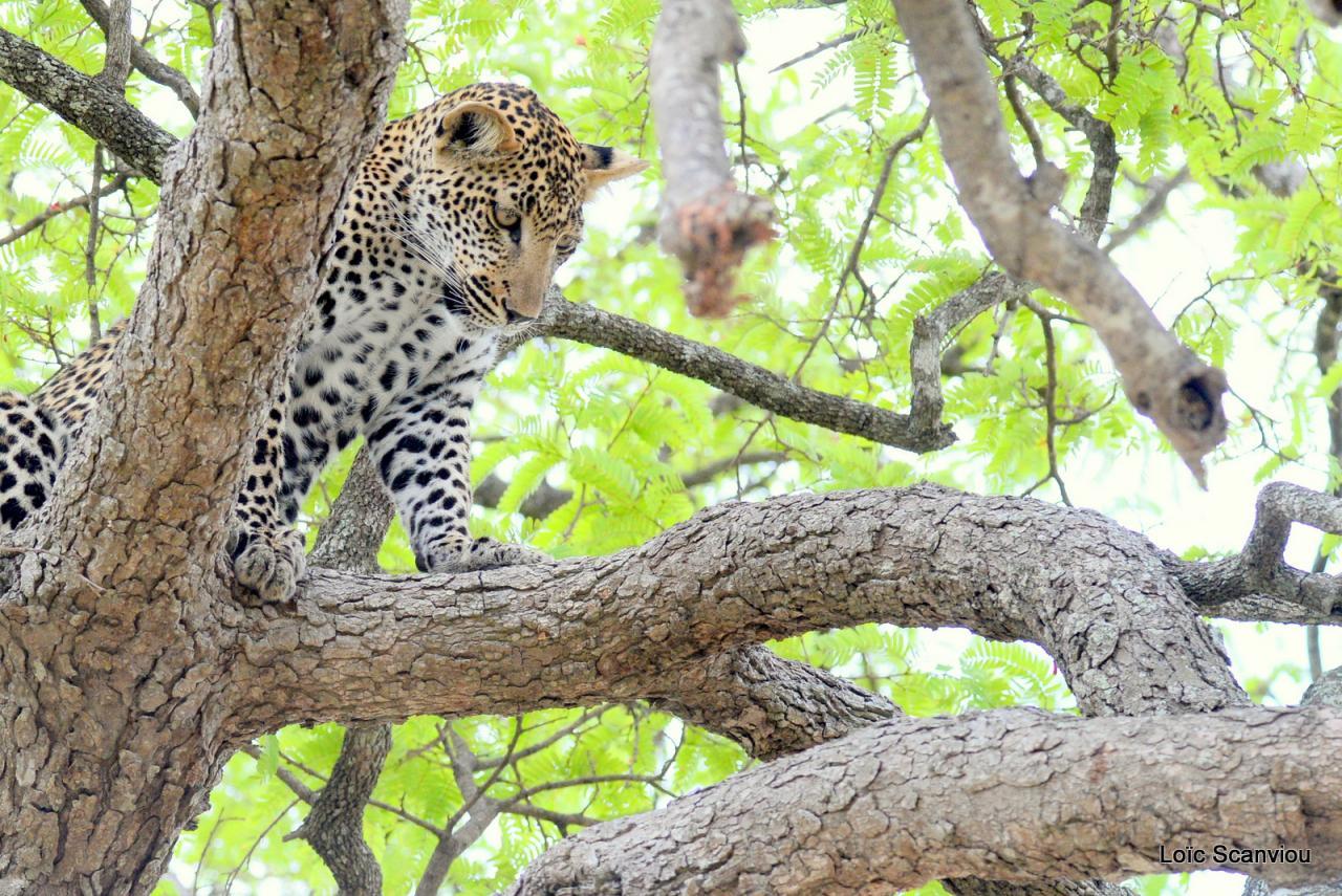 Léopard dans un arbre (24)