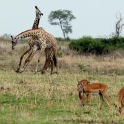 Girafes et impalas