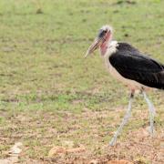Marabout/Marabou Stork (1)