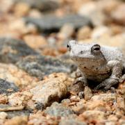 Grenouille/Frog (1)