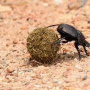 Bousier/Dung Beetle (1)