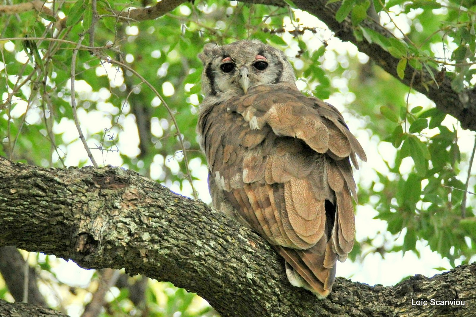Grand-duc de Verreaux/Verreaux's Eagle-Owl (2)