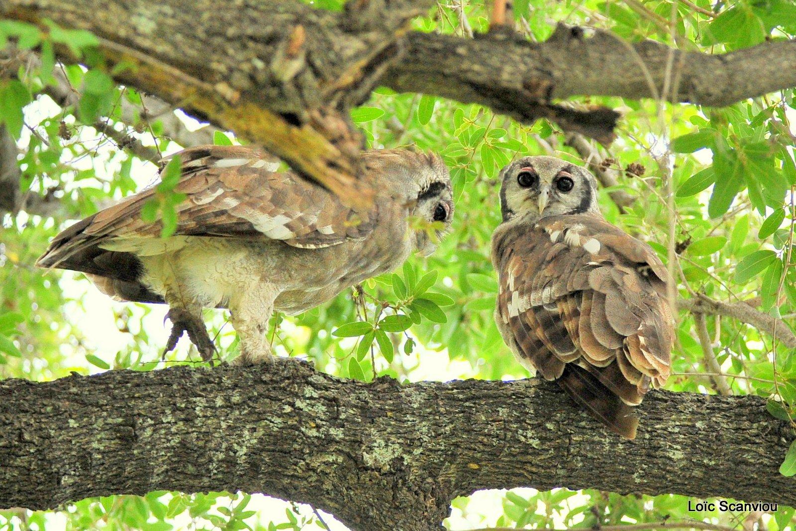 Grand-duc de Verreaux/Verreaux's Eagle-Owl (3)