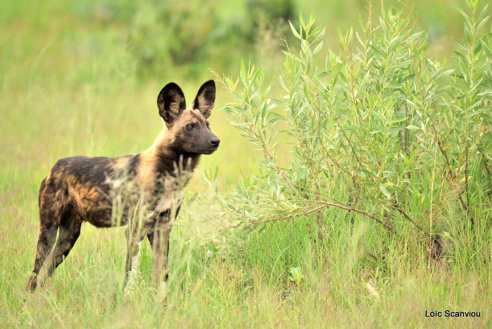 Lycaon/African Wild Dog (2)