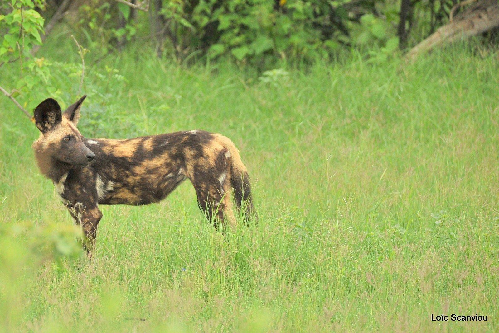 Lycaon/African Wild Dog (4)