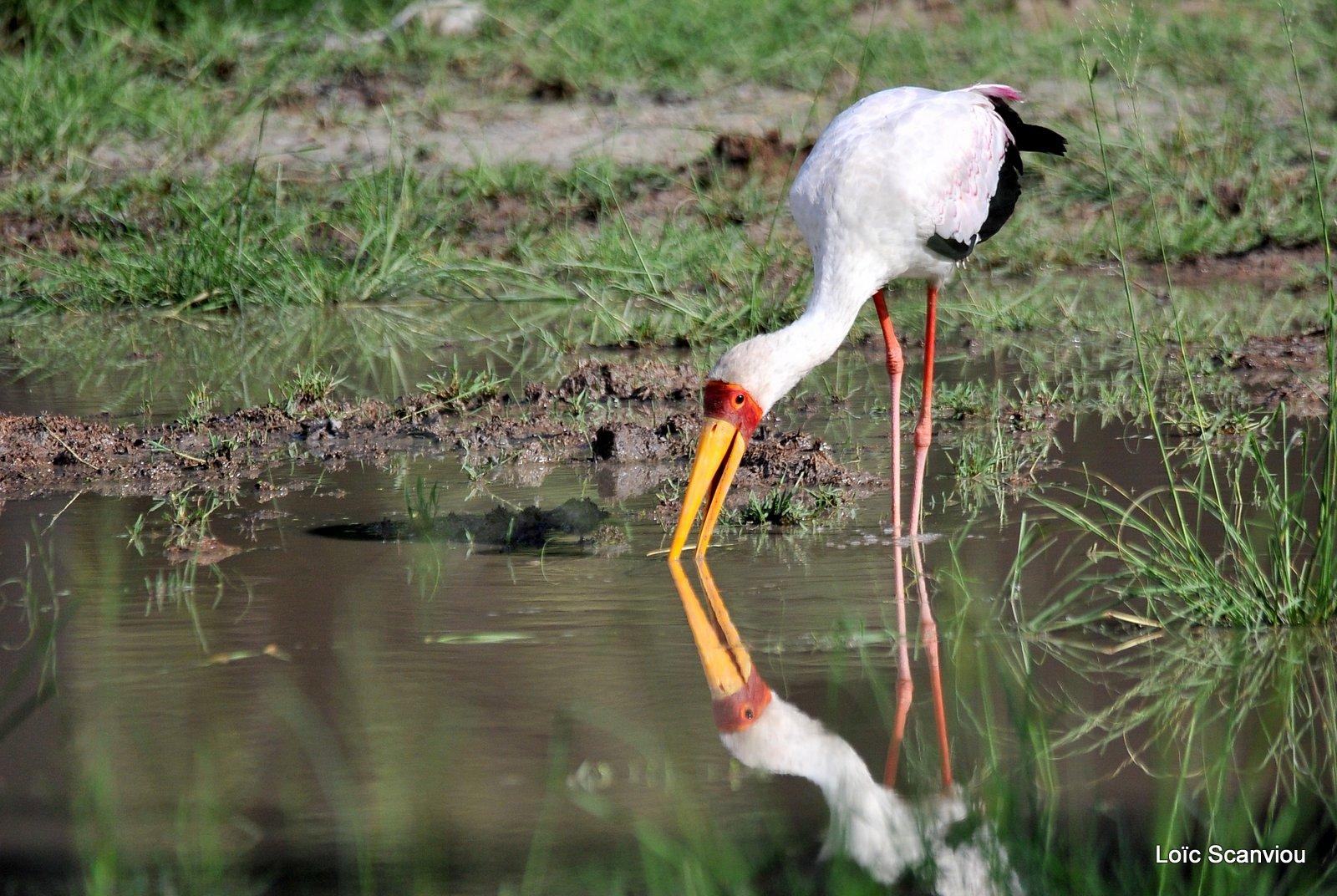 Tantale ibis/Yellow-billed Stork (2)