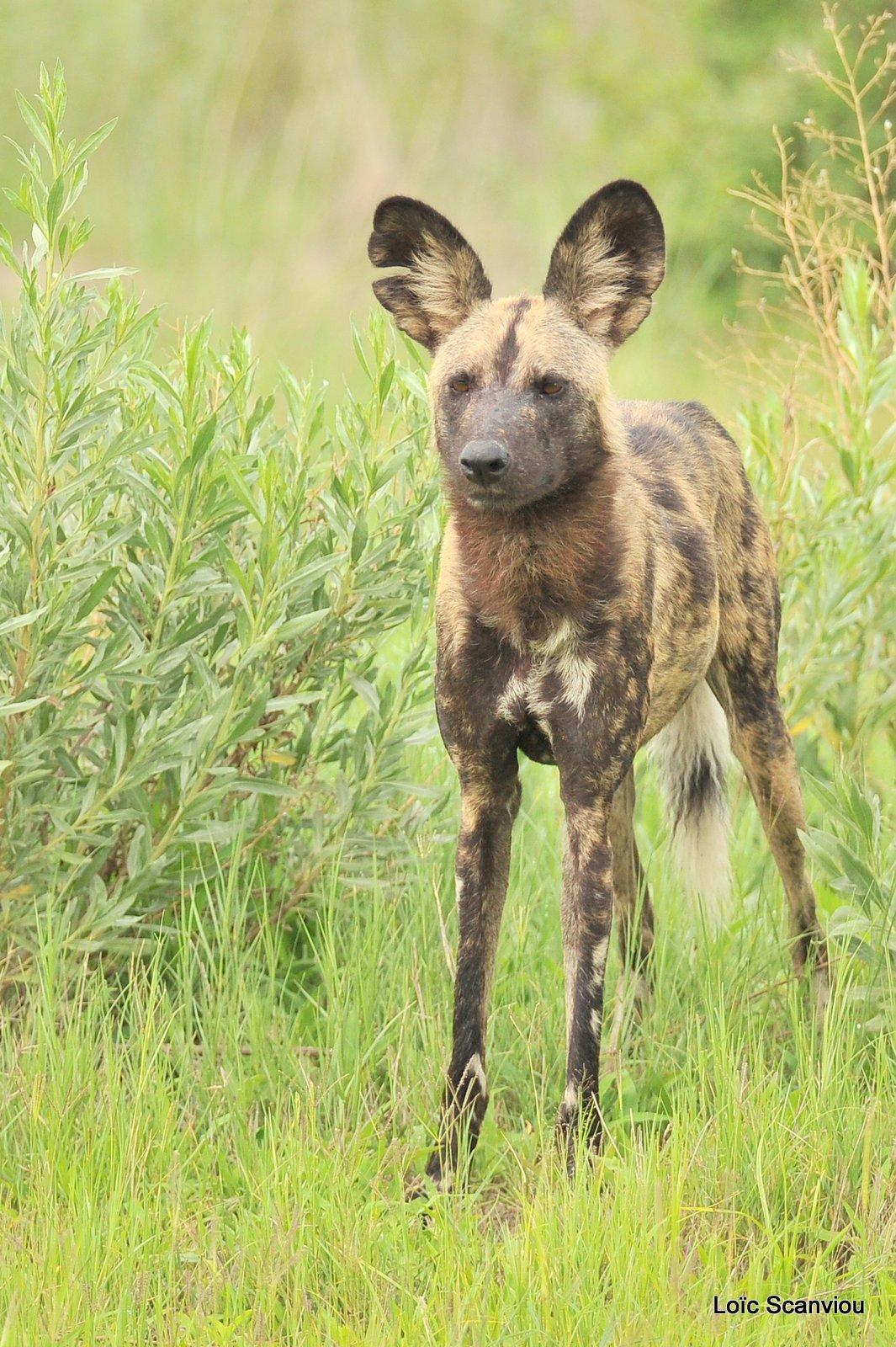 Lycaon/African Wild Dog (10)