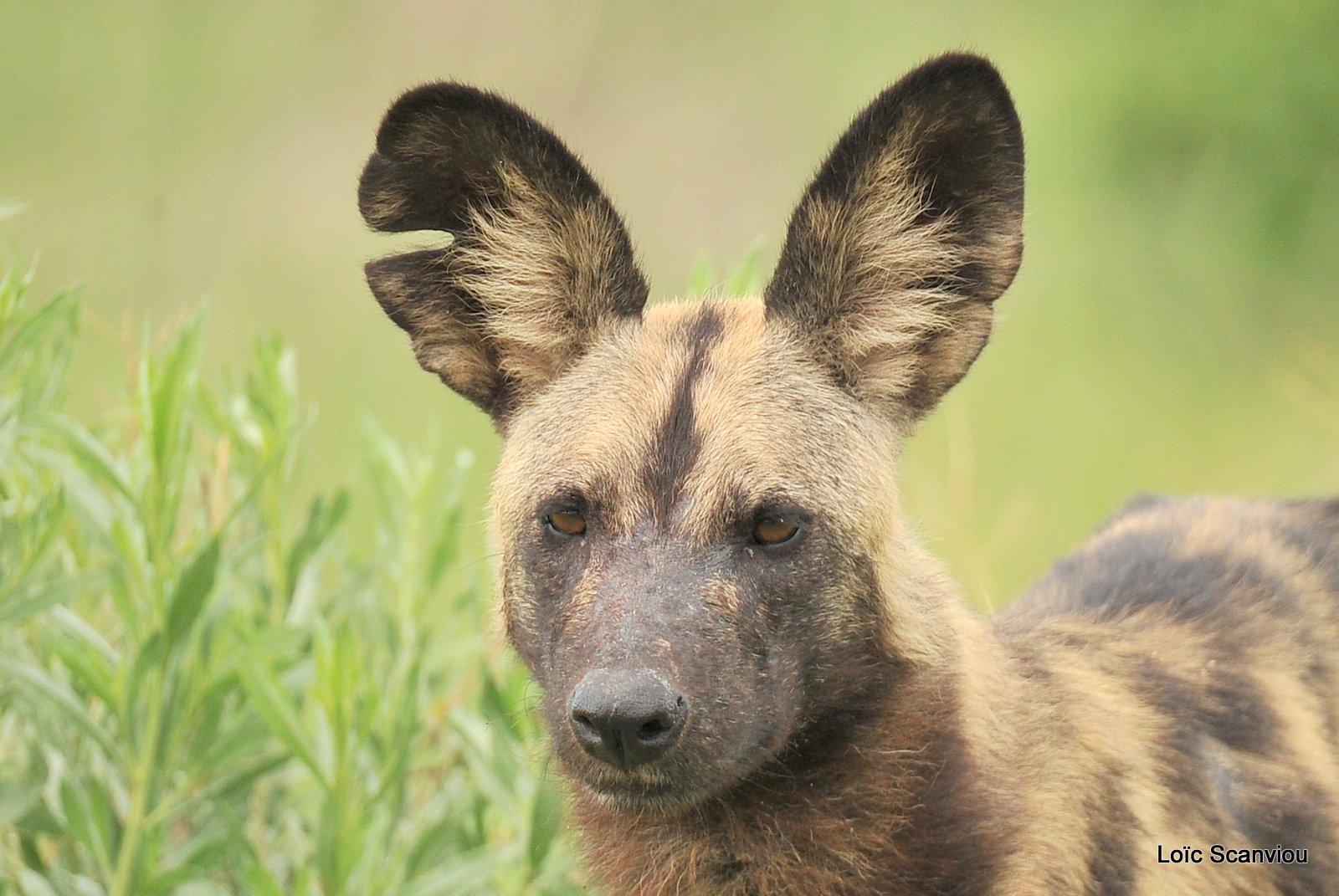 Lycaon/African Wild Dog (11)