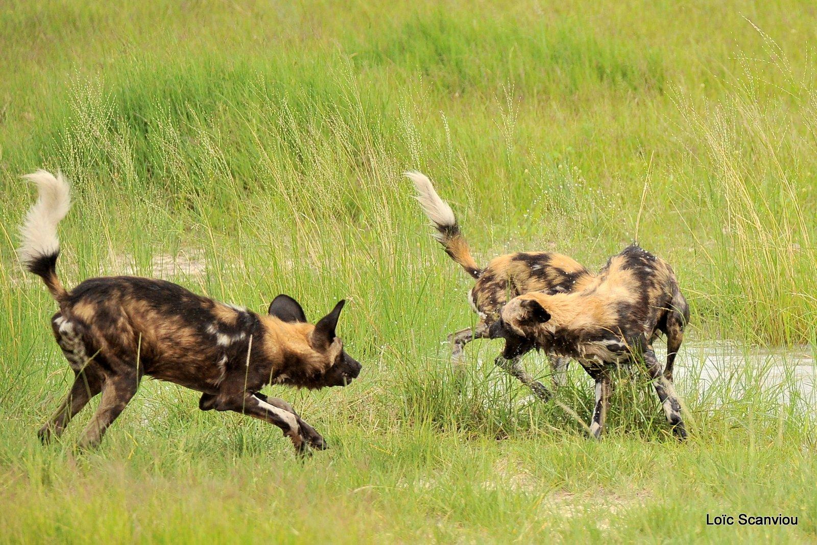 Lycaon/African Wild Dog (12)